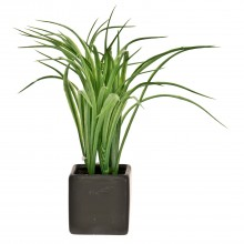 Calamus In Pot